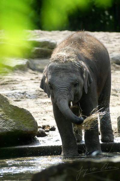 Young indian elephant playing with water (Diergaarde Blijdorp, Rotterdam)