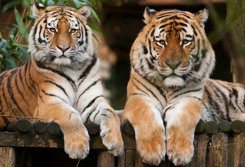 Tijger paartje liggend bij elkaar / Pair of tigers laying down (Dierenpark Amersfoort)