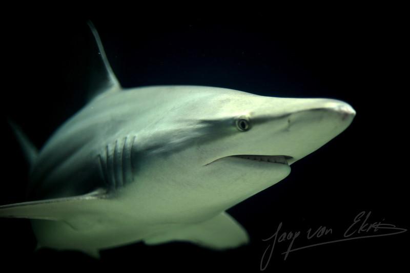 Close-Up of a blacktip shark (Burgers Zoo, Arnhem)