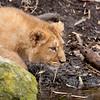 Een sluipende leeuwenwelp / A prowling lion cub (Diergaarde Blijdorp, Rotterdam)
