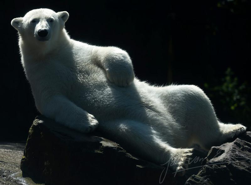 Zonnende ijsbeer / Sunbathing Polarbear