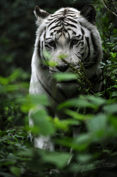 White bengal tiger hiding in the bushes (Dierenpark Amersfoort)