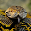 Reticulated python looking for prey (Dierenpark Emmen)