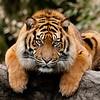 Een tijger in de aanvalshouding / A tiger in an atackposition (Diergaarde Blijdorp, Rotterdam)