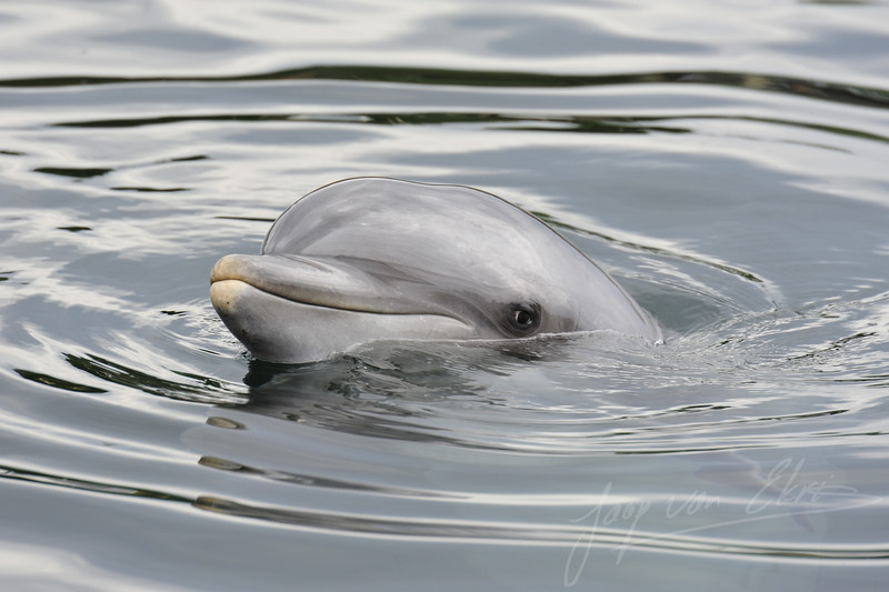 Bottlenose dolphin in the water (Dolfinarium, Harderwijk)