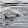 Bottlenose dolphin in the water (Dolfinarium, Harderwijk)