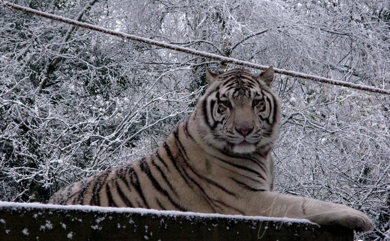 Siberian tiger in the snow (Ouwehands Dierenpark, Rhenen)