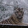 Siberian tiger in the snow (Ouwehands Dierenpark, Rhenen)