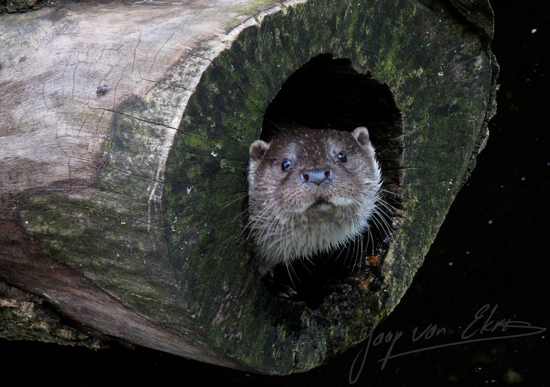 Otter hiding in an old tree (Alpenzoo, Innsbruck)