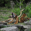 Sumatran tigers enjoying the sun (Diergaarde Blijdorp, Rotterdam)