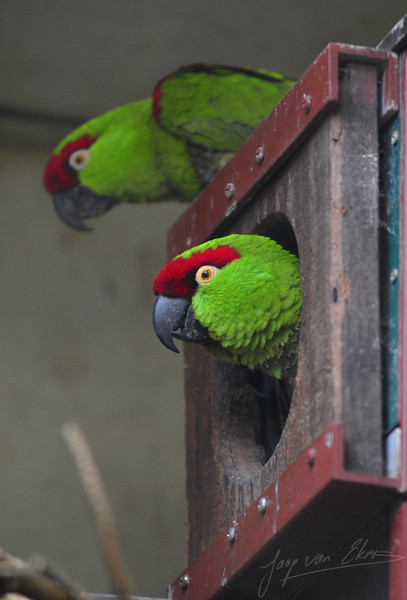 Two thick-billed parrots on a nest (Burgers Zoo, Arnhem)