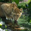 Drinkende jonge leeuw / Young lion drinking (Burgers Zoo, Arnhem)