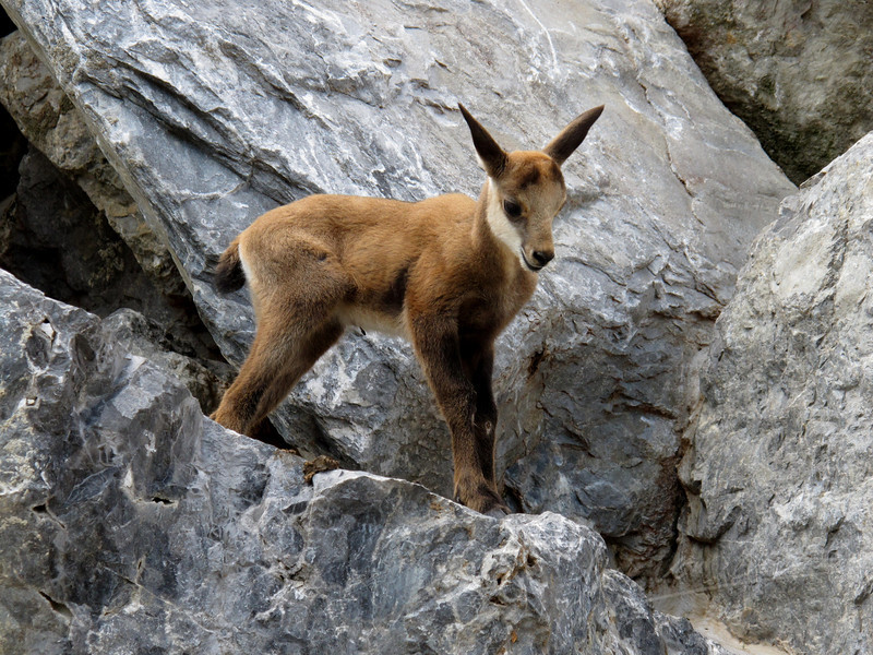 Young alpine chamois on the rocks (Alpenzoo, Innsbruck)