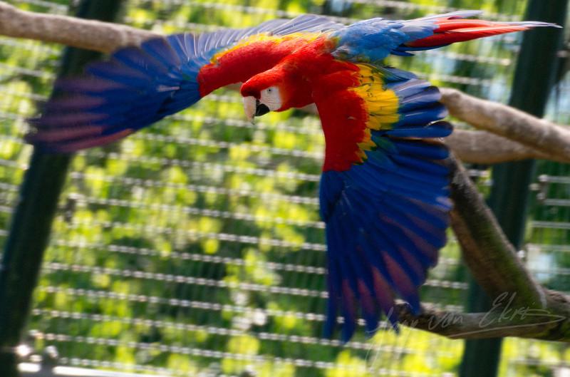 Vliegende geelvleugelara / Flying Scarlet Macaw (Ouwehands Dierenpark, Rhenen)