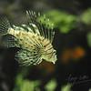 Lion fish (Burgers Zoo, Arnhem)