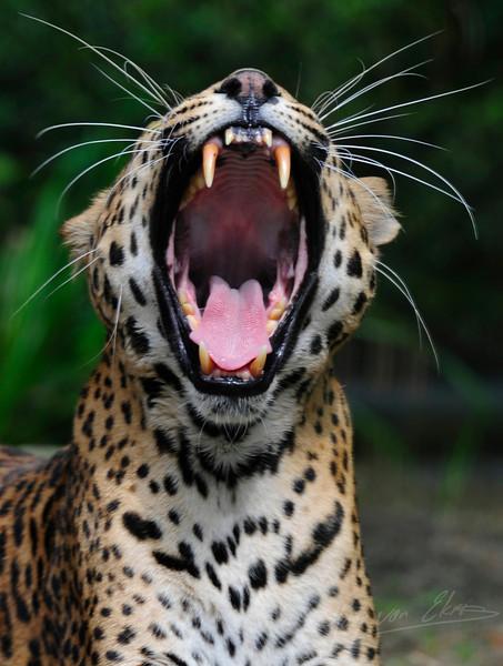 A Sri Lanka Panther yawning (Dierenpark Emmen)