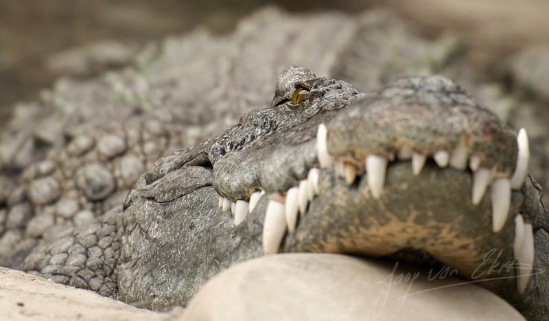 Nijlkrokodil liggend in de zon / Sunbathing Nile Crocodile (Zoo de Bâle, Basel)