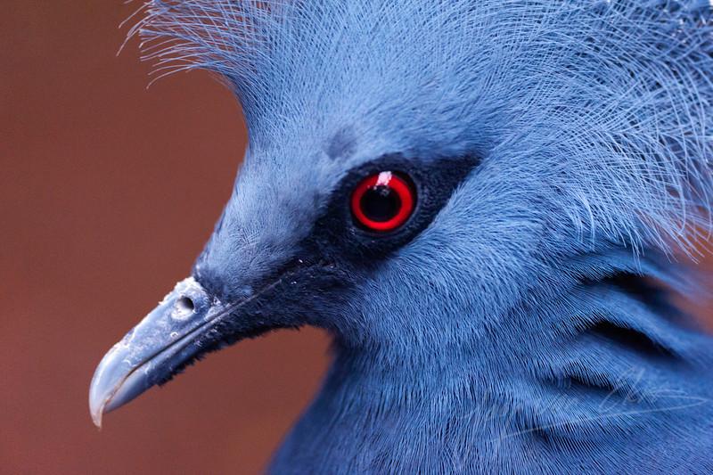 Close-up van een waaierduif / Close-up of a victoria crowned pigeon (Burgers Zoo, Arnhem)