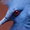 Close-up van een waaierduif / Close-up of a victoria crowned pigeon (Burgers Zoo, Arnhem)