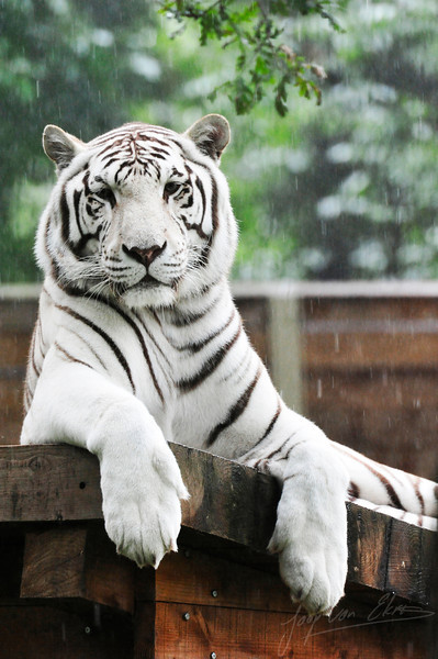 White tiger laying down in the rain (Ouwehands Dierenpark, Rhenen)