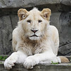 Young white lion overseeing his group (Ouwehands Dierenpark, Rhenen)
