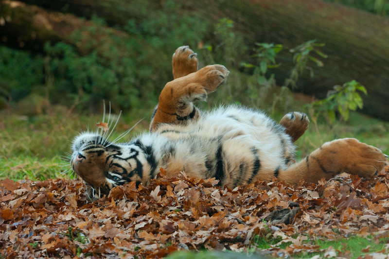 Een tijger speelt met herfstblaadjes / A tiger being playful with autumn leaves (Burgers Zoo, Arnhem)
