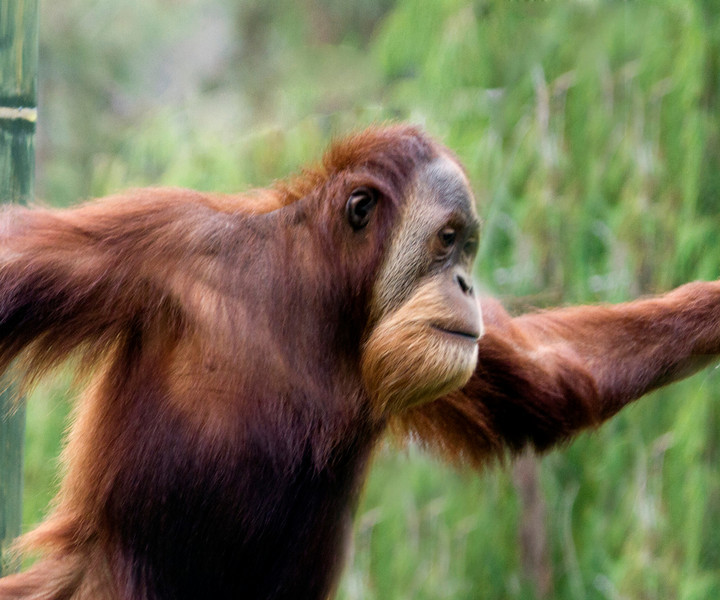 """Orangutan -  The word """"orangutan"""" comes from the Malay words """"orang"""" (man) and """"(h)utan"""" (forest); hence, """"man of the forest""""."""