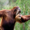 "Orangutan -  The word ""orangutan"" comes from the Malay words ""orang"" (man) and ""(h)utan"" (forest); hence, ""man of the forest""."