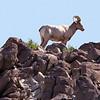 Long Horn Sheep, Living Desert Zoo, Desert Hot Springs
