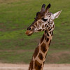 Giraffe, San Diego Wild Life Park.