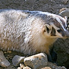 Badger, Living Desert Zoo, Desert Hot Springs
