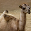 Baby two hump Camel - The Bactrian Camel (Camelus bactrianus) is a large even-toed ungulate native to the steppes of north eastern Asia. It is one of the two surviving species of camel.[2] The Bactrian Camel has two humps on its back.