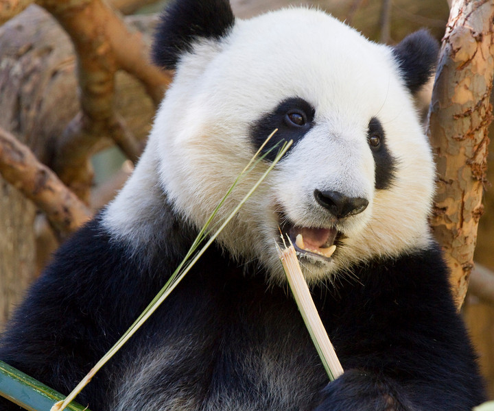 Panada Bear, San Diego Zoo