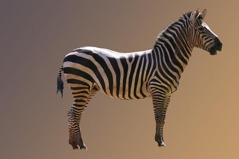 Zebra, Honolulu Zoo