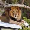 Lion male, San Diego Wild Life Park.