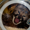 Cheetah -  This baby Cheetah that was abandon by the mother, seen here in a incubator at only 5 days old.