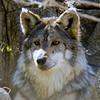 Mexican Wolf, Living Desert Zoo, Desert Hot Springs