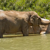 Asian Elephant (Elephas maximus), sometimes known by the name of one of its subspecies, the Indian Elephant