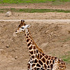 Giraffe, Baby, San Diego Wild Life Park.