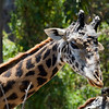 Giraffe - The giraffe's scientific name, which is similar to its antiquated English name of camelopard, refers to its irregular patches of color on a light background, which bear a token resemblance to a leopard's spots