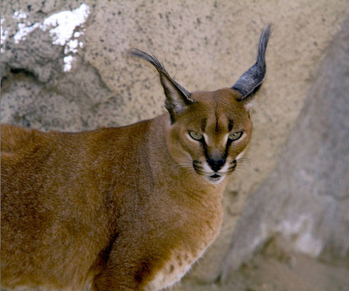 Caracal, Living Desert Zoo, Desert Hot Springs