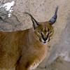 Caracal, Living Desert Zoo, Desert Hot Springs