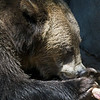 Grizzly Bear - also known as the silvertip bear, is a subspecies of brown bear (Ursus arctos) that generally lives in the uplands of western North America.
