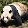 USA, GA, Georgia, Atlanta, Zoo Atlanta, Giant Panda, Ailuropoda Melanoleuca, Male, Yang Yang