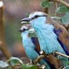 Racket-Tailed Roller Bird at Zoo Atlanta