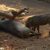 Warthogs at Zoo Atlanta