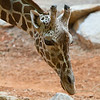 Giraffe at Zoo Atlanta