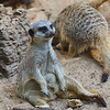 Meerkats at Zoo Atlanta