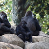 Western lowland gorillas at Zoo Atlanta