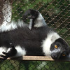 Black and White Ruffled Lemur at Zoo Atlanta